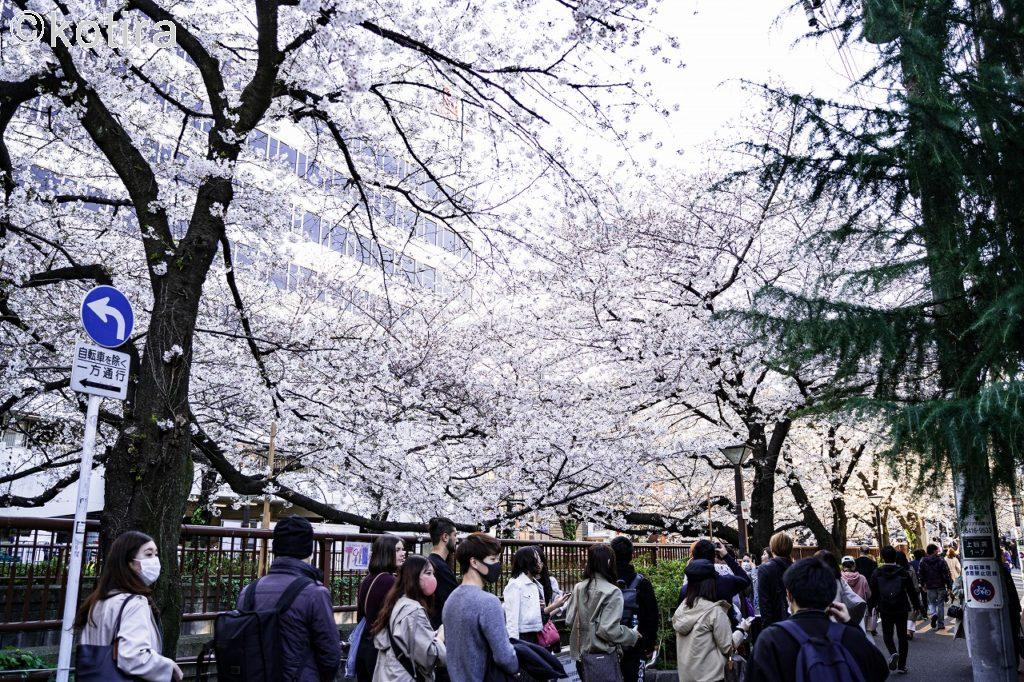 目黒川の桜1