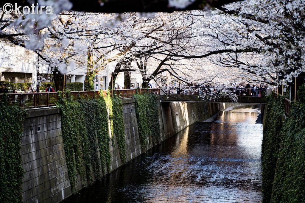 目黒川の桜4