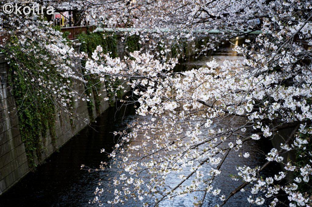 目黒川の桜5