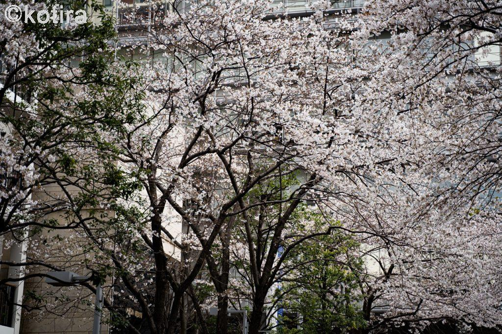 六本木・さくら坂2