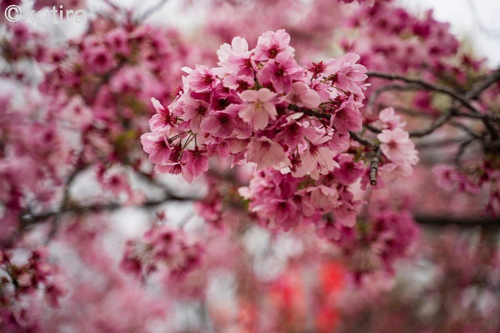 上野恩賜公園・桜4