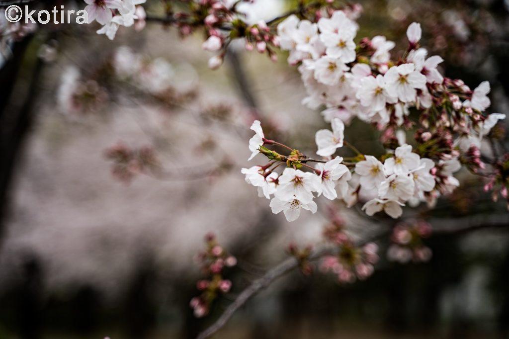 上野恩賜公園・桜3