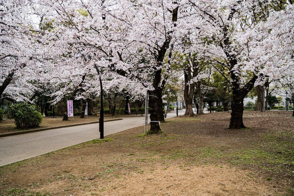 上野恩賜公園・桜1